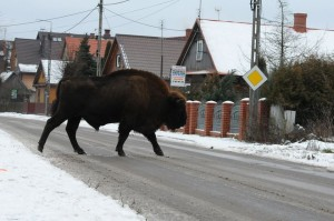 bialowieza poland bisons1