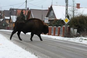 bialowieza poland bisons1